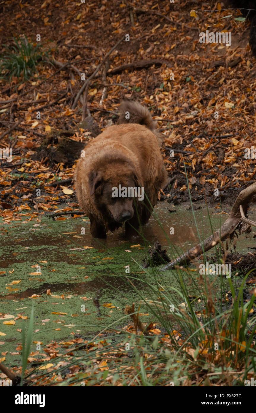 Kaukasische Hund Sieht Wie Bär Stockfoto Bild 222638960 Alamy