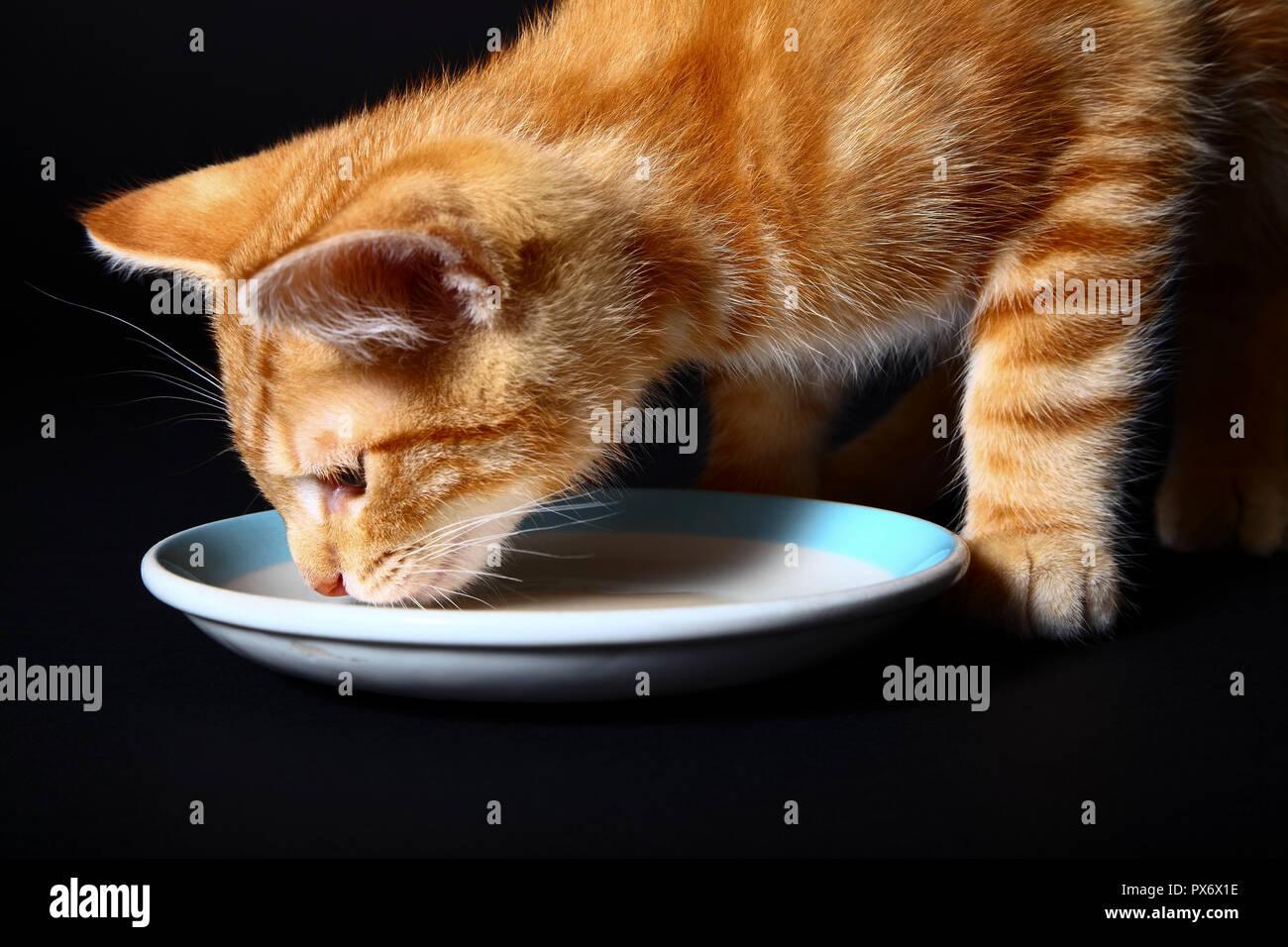 Ingwer Mackerel Tabby kitten Katze trinkt Milch aus einer Untertasse Stockfoto