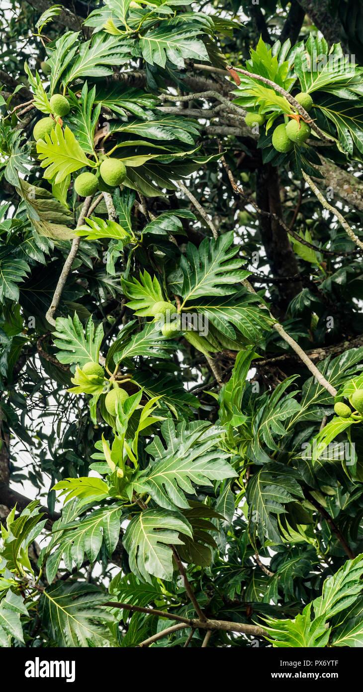 Brotfrucht Artocarpus altilis hängt am Baum Stockbild