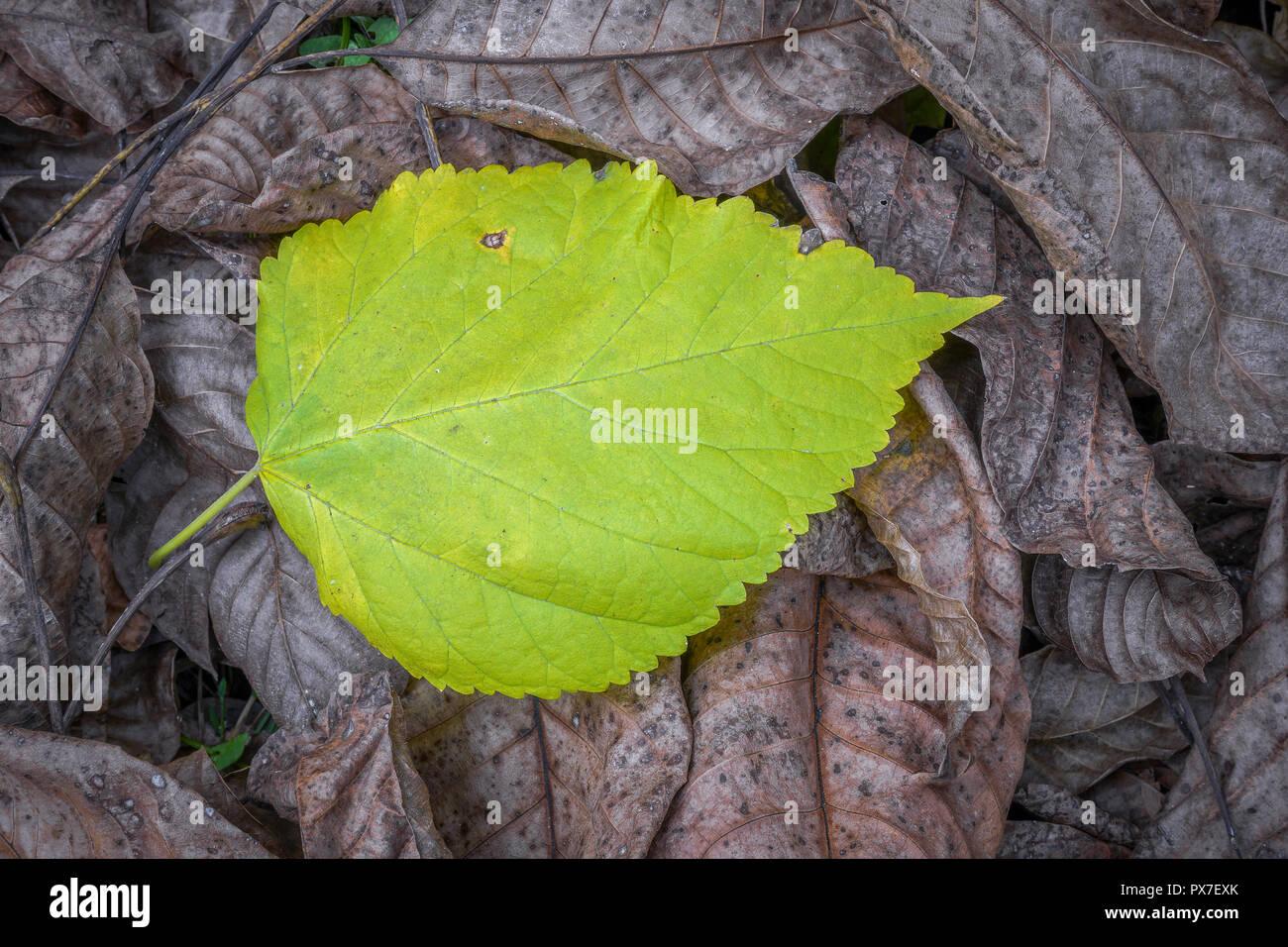 9bc508adae Ein Blatt vom Baum im Herbst, die hat noch nicht den Herbst Farbe verloren  gingen
