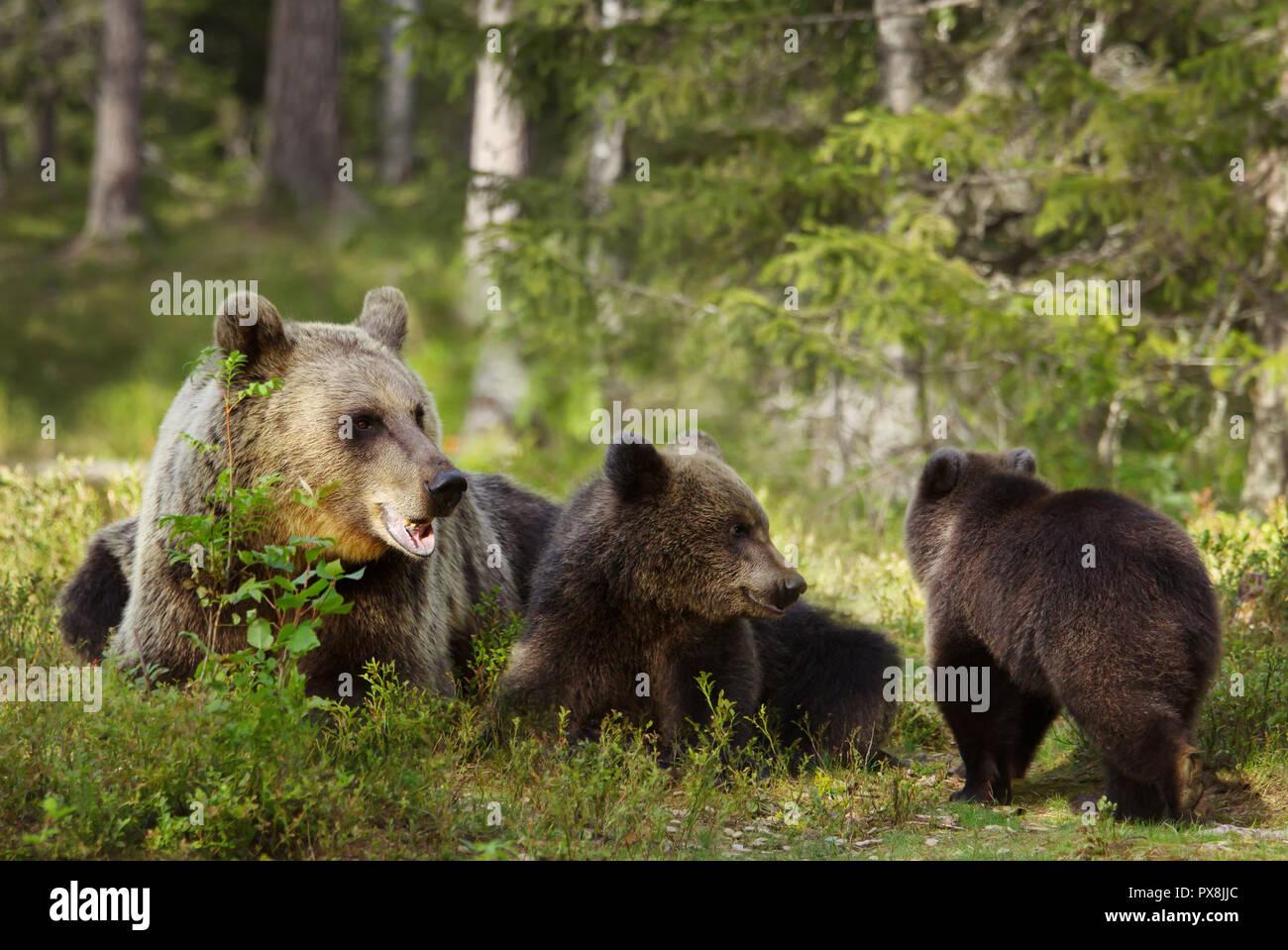 In der Nähe der weiblichen Eurasischer Braunbär (Ursos arctos) und ihre verspielten Jungen im borealen Wald, Finnland. Stockfoto