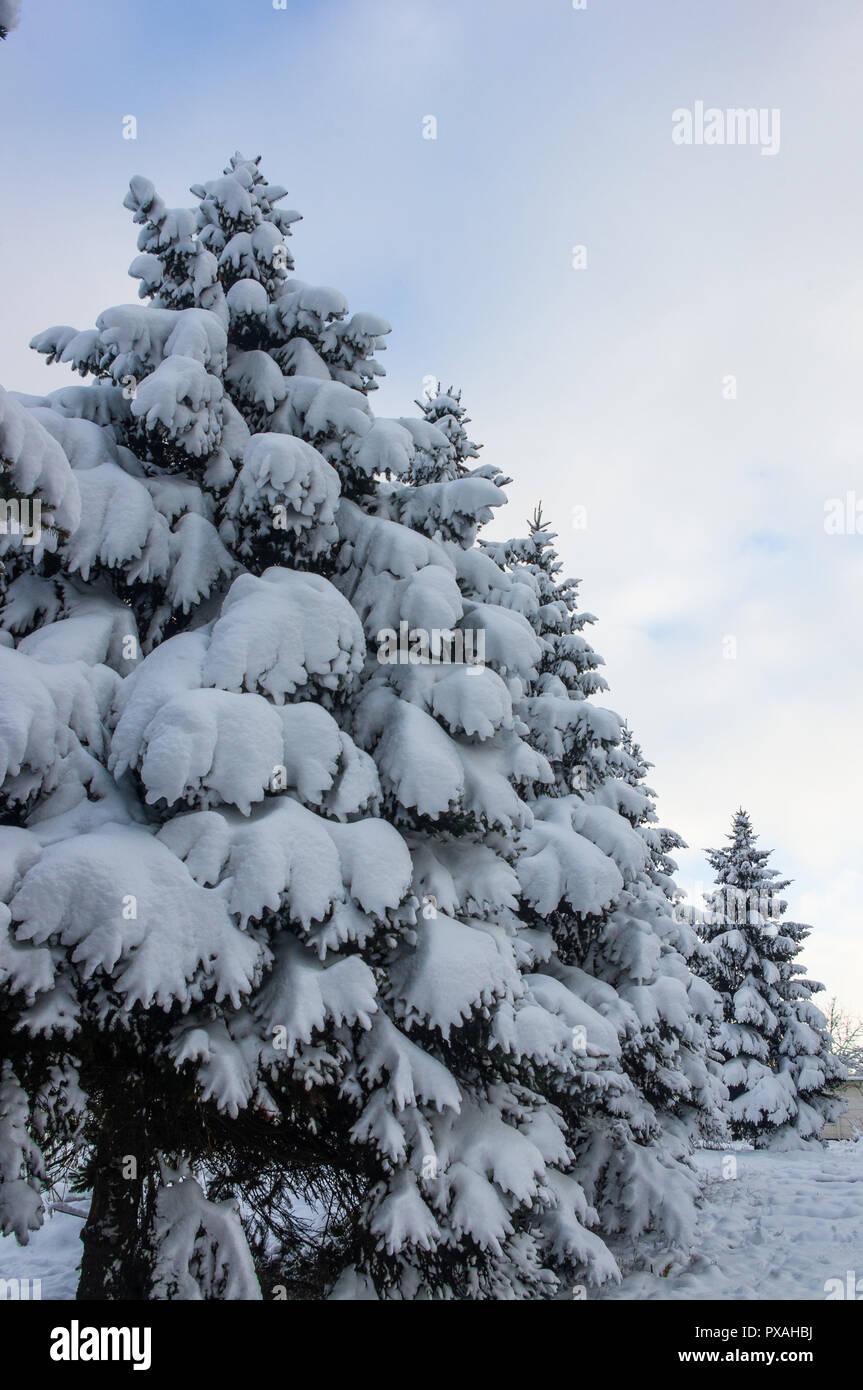 Grune Flauschige Tanne Im Schnee Weihnachten Wallpaper Konzept