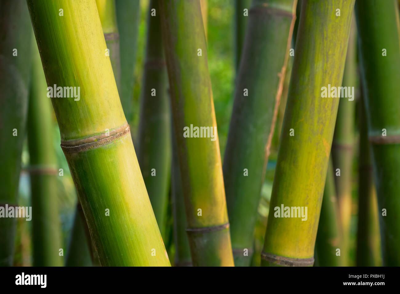Bambus in der Nähe bis in Bamboo Grove Stockfoto