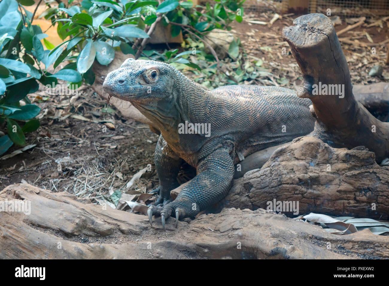 Ein Komodowaran im ZSL London Zoo Stockfoto, Bild: 222833886