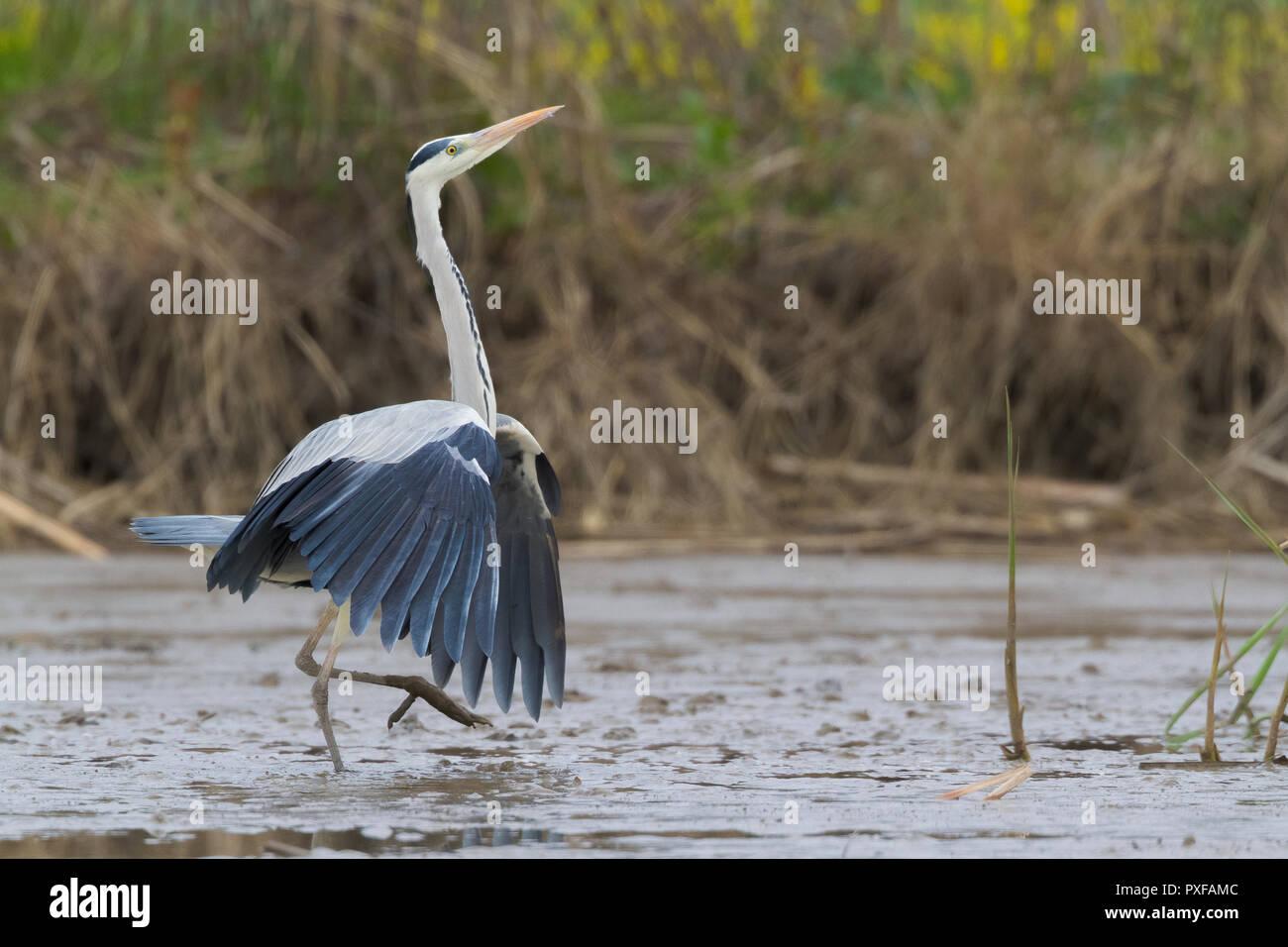 Graureiher (Ardea cinerea), m für Erwachsene, die in einem ausgetrockneten Teich mit gespreizten Flügeln Stockbild