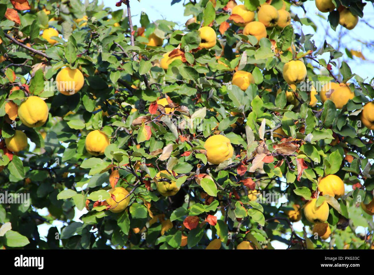 Reife Früchte Mit Quitte Am Baum Quitten Am Baum Frische Früchte