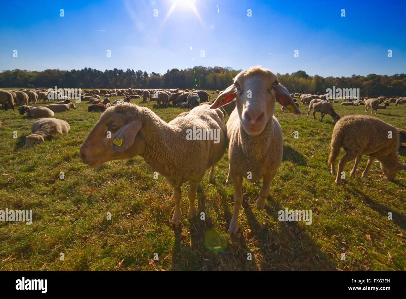 Schafe auf der Weide - Schafe auf dem Grün Stockbild