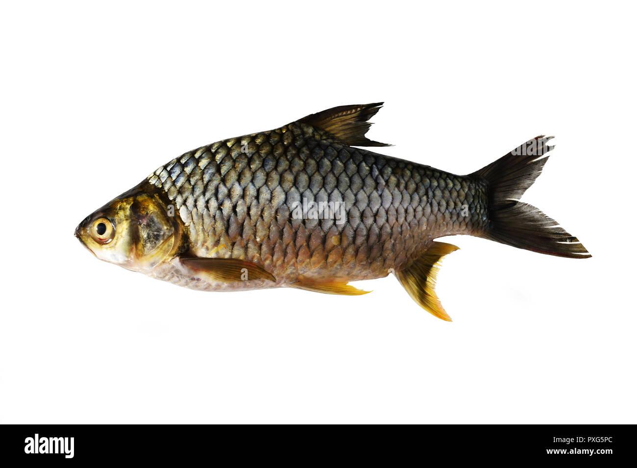 Java Barb, Fisch auf weißem Hintergrund, wichtige aquacultur Süßwasser-Arten in Thailand Stockbild