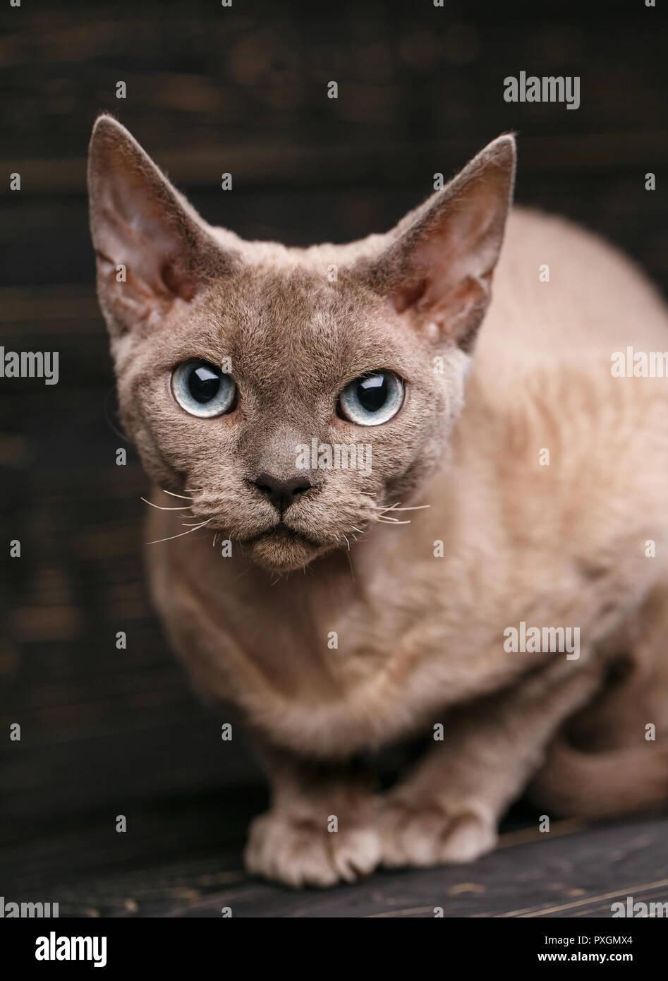 Schöne große reinrassige Devon Rex Katze portrait Stockbild