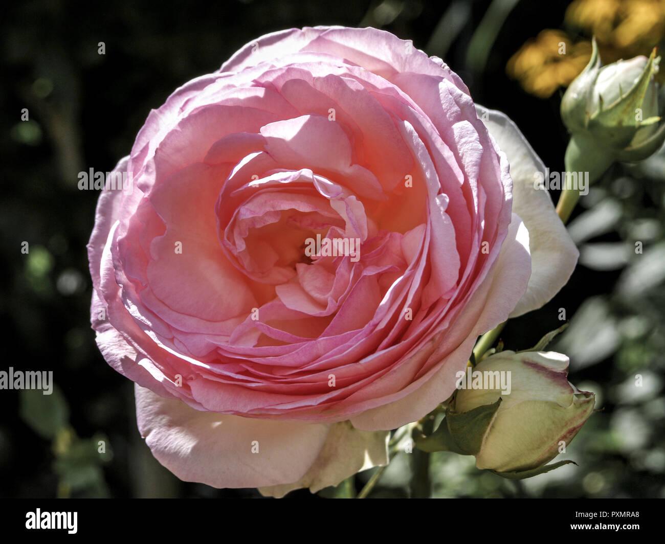 Rose, Weiss, Rosa, Blume, Bluete, Rosen, Rosenbluete, Natur, Pflanze, Reinheit, Schönheit, Romantik, Duft, Pflanzen, Blumen, Sommerblumen Stockbild