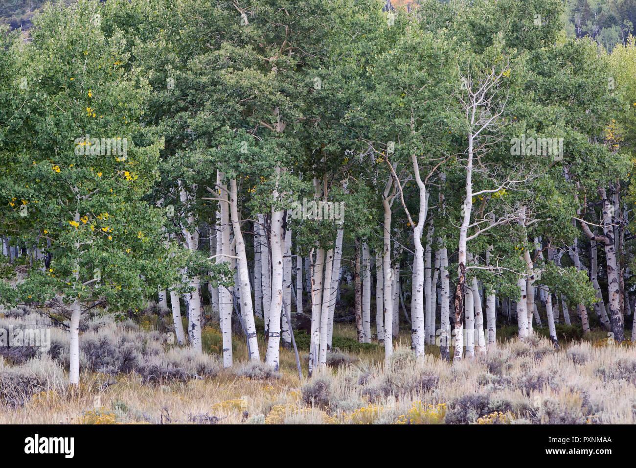 """Beben Aspen Grove"""" Pando Klon"""", auch als Zittern Riese, klonale Kolonie eines einzelnen männlichen Beben Aspen bekannt. Stockbild"""