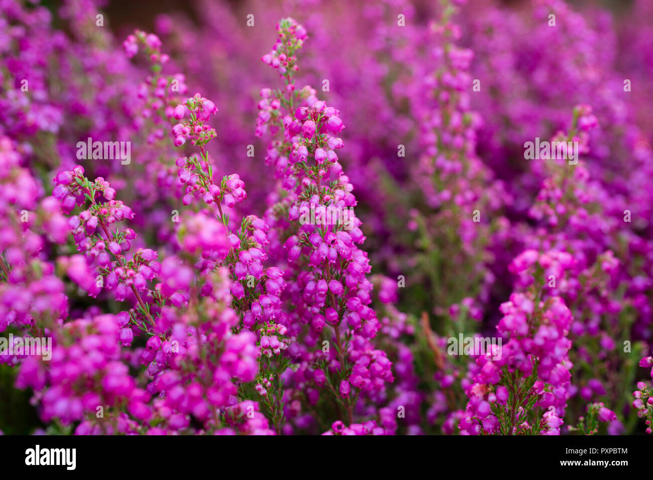 Erica Gracilis Stockfoto Bild 222997732 Alamy