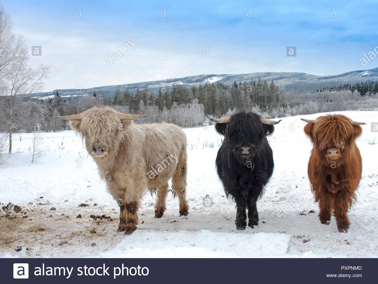 3 Highland Cattle in Schnee und schauen in die Kamera. Nach oben Schließen Stockbild