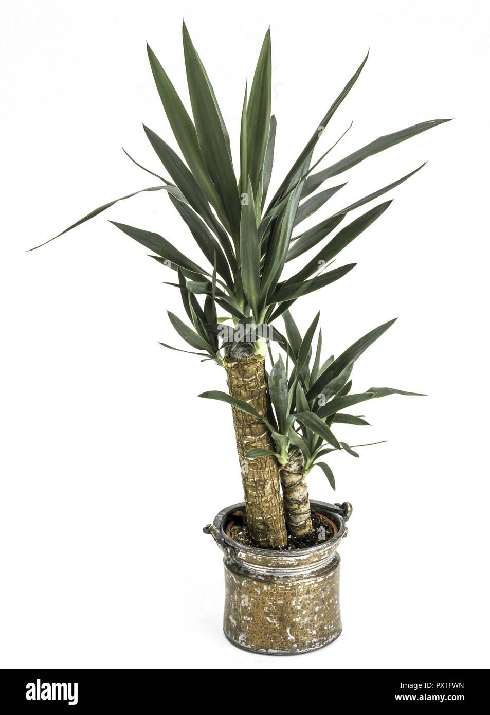 Zimmerpflanzen, Yucca Palme in einem Topf, Zimmerpflanzen, Yucca ...