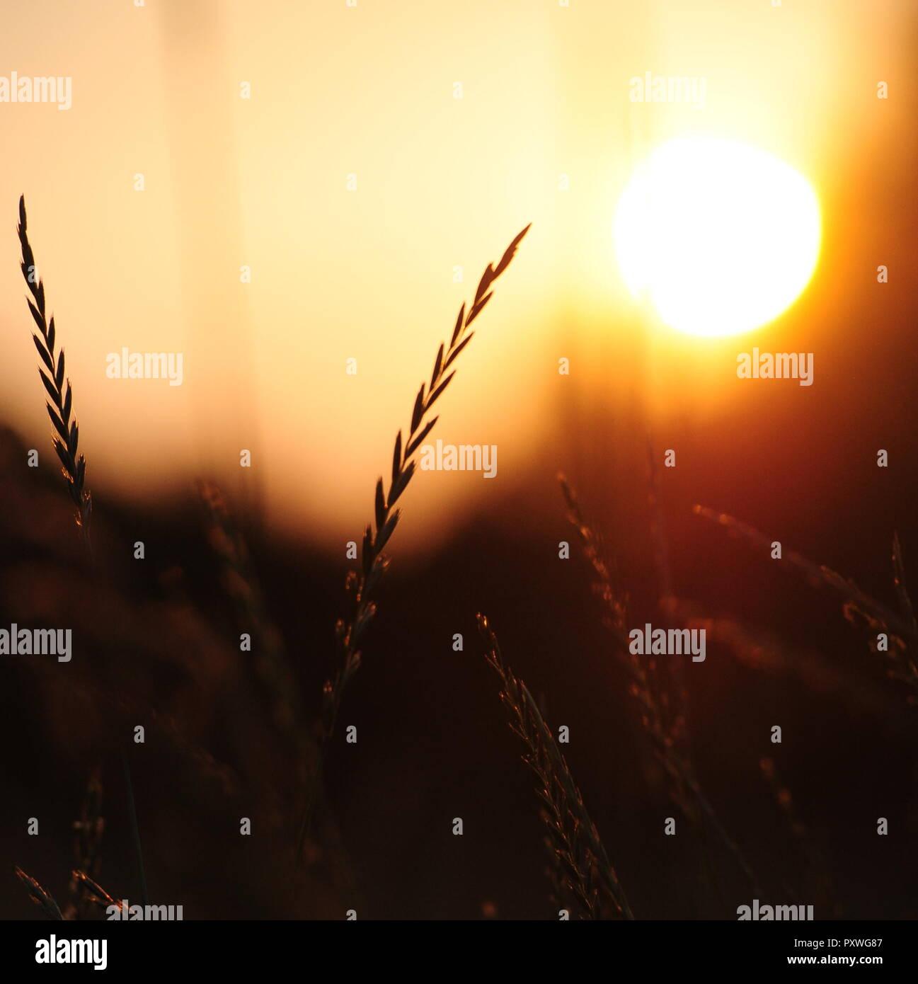 Gräser im Gegenlicht, Sonnenuntergang Stockfoto