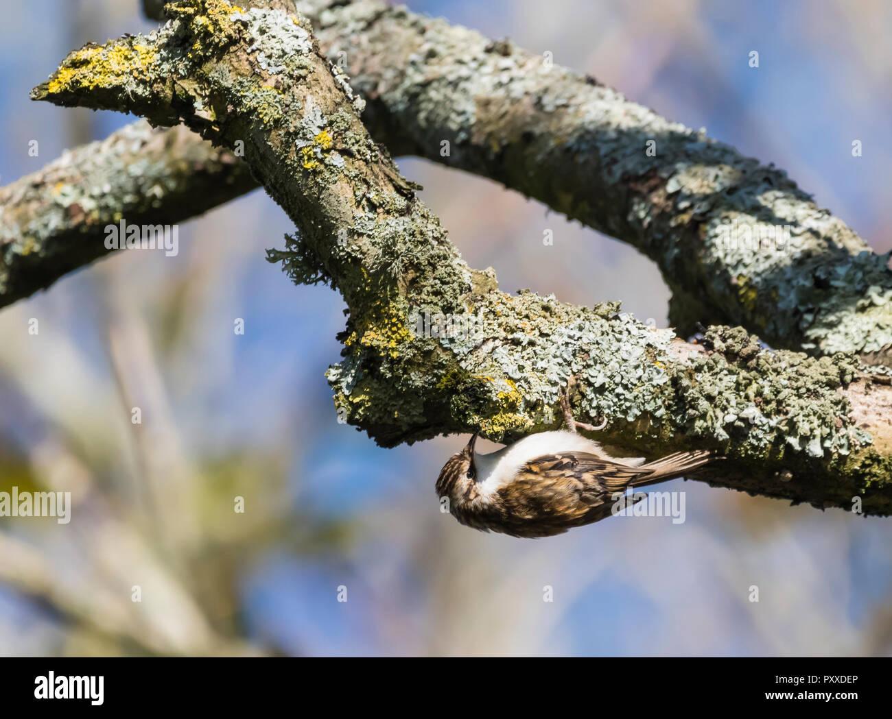 Eurasian Treecreeper (Certhia familiaris) Vogel hängend kopfüber an einem Baum im Herbst in West Sussex, England, UK. Stockbild
