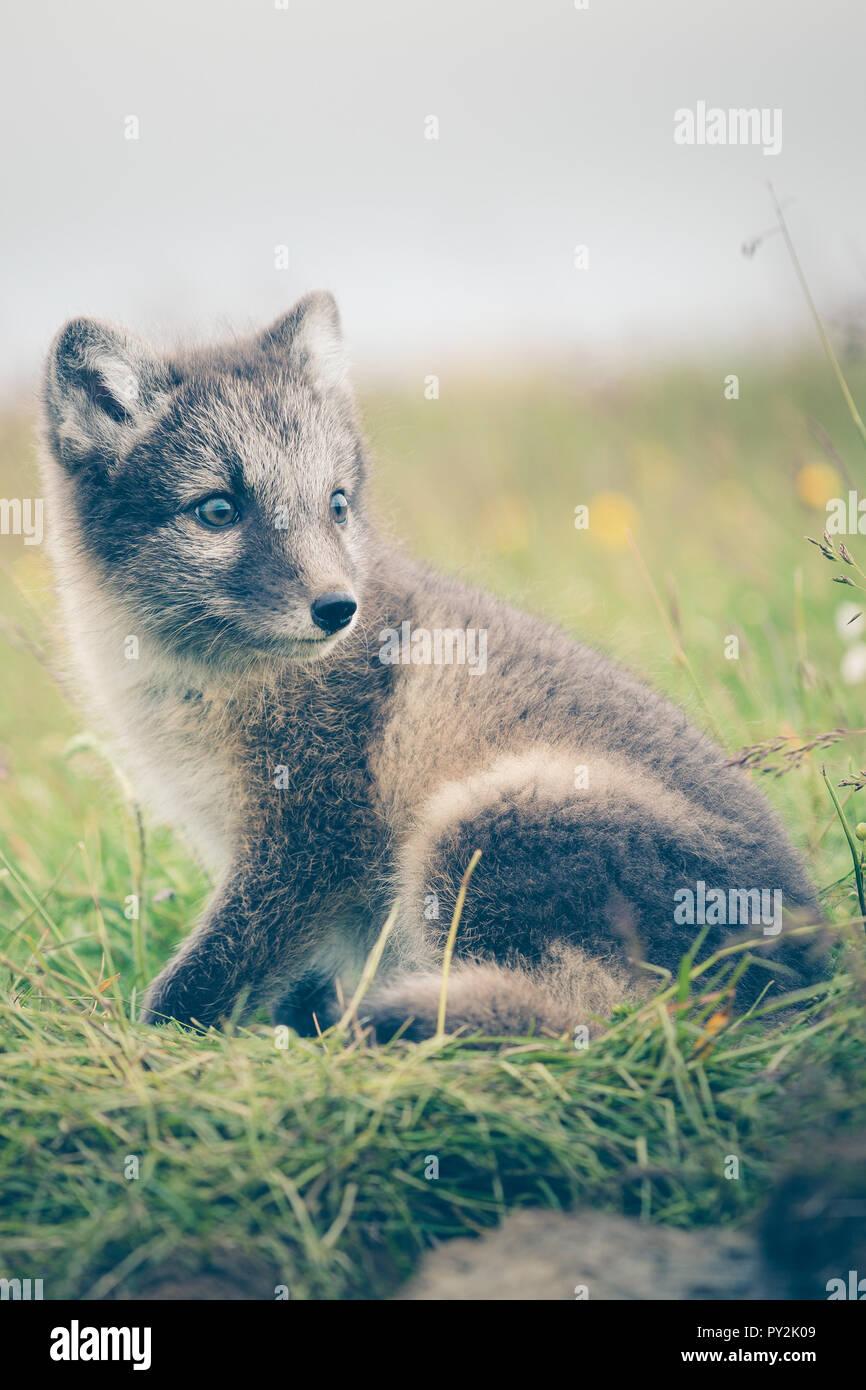 Portrait einer jungen verspielten Arctic fox Cub in Island, Sommer Stockbild