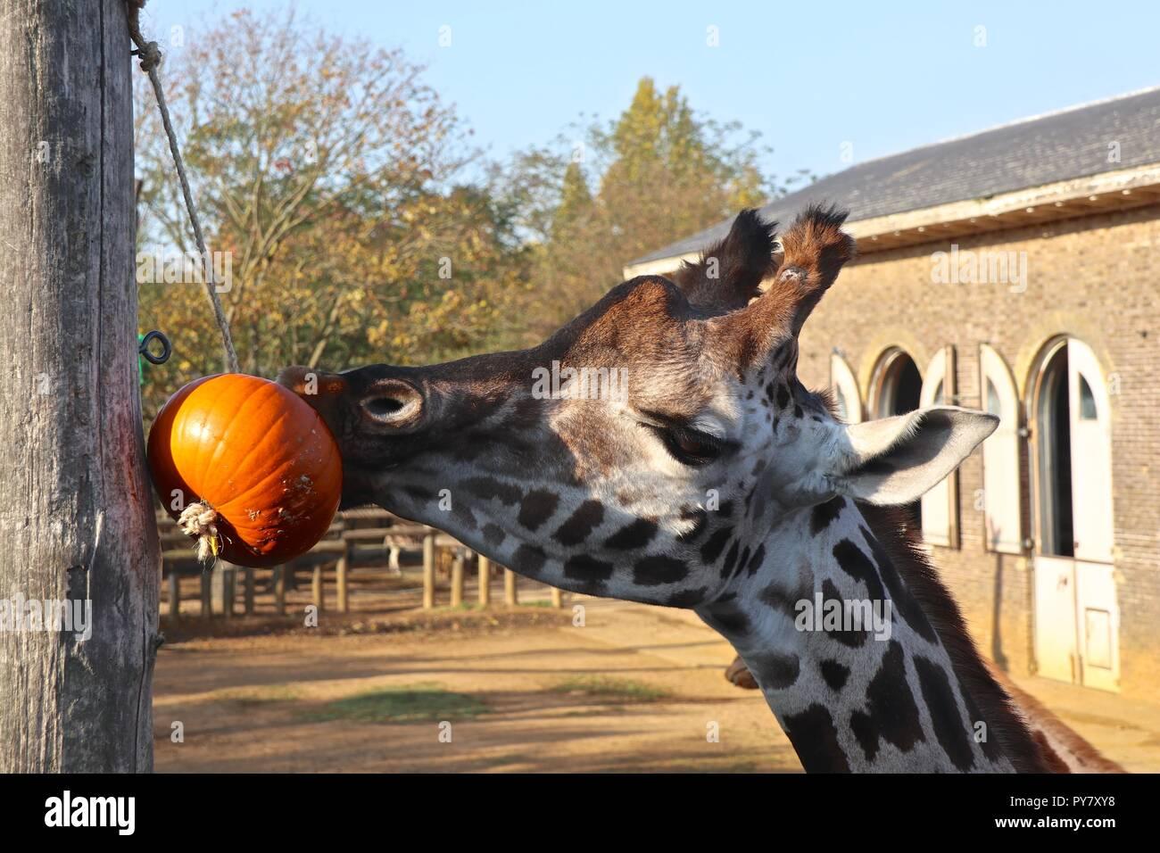 Kürbisse an ZSL London Zoo Stockbild