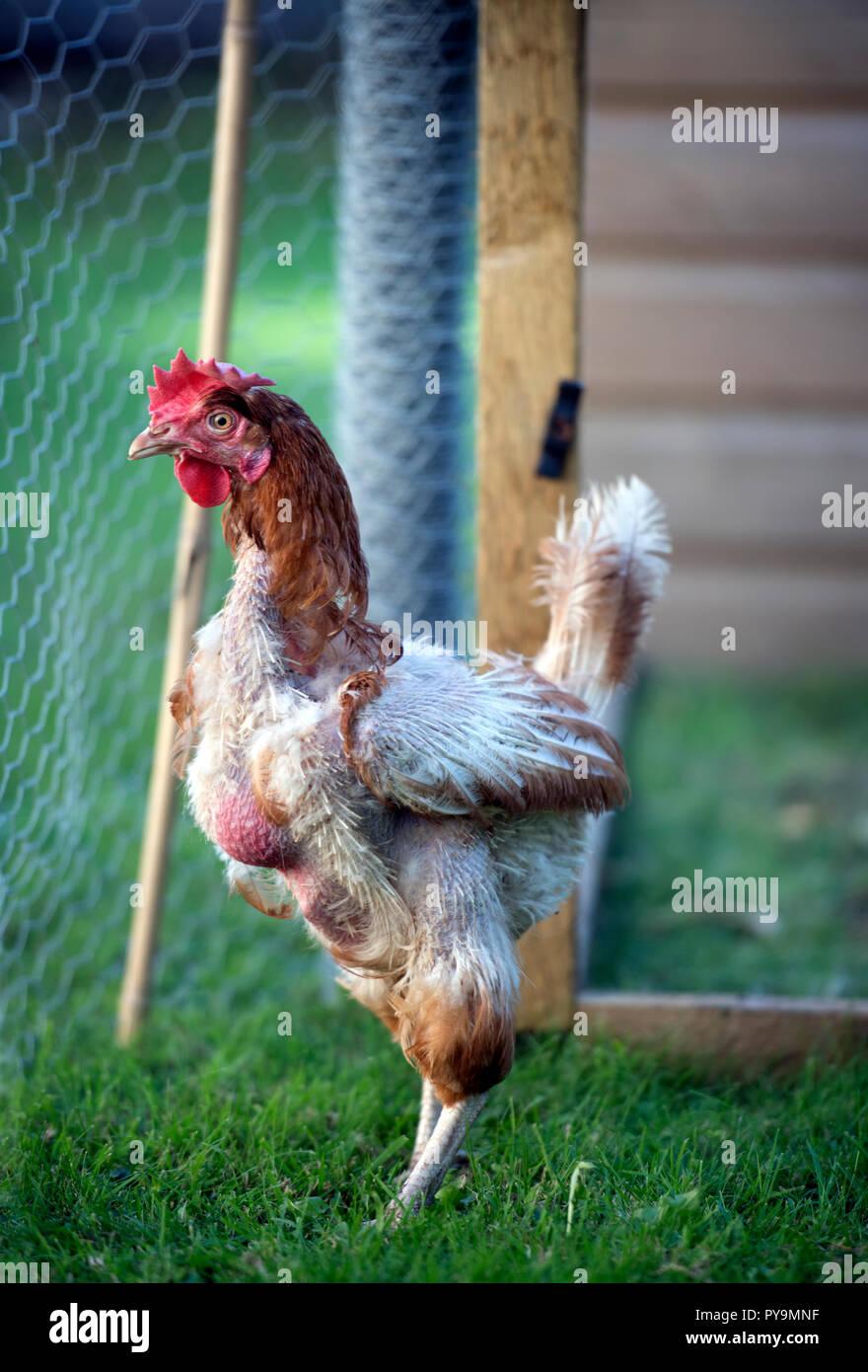 Hühner datieren kommerziell Datierung eines Arztes Bewohner