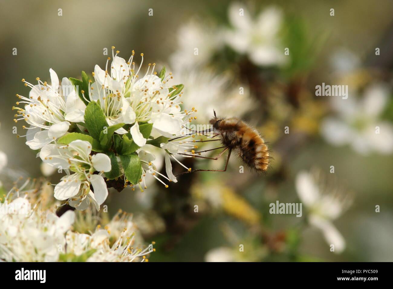 Beefly schwebt über einer hawthorn weiße Blume, Sammeln von Nektar über seinen langen Rüssel, Fütterung auf den Kotflügel am frühen Mayflower ist diese seltsame Insekt. Stockbild