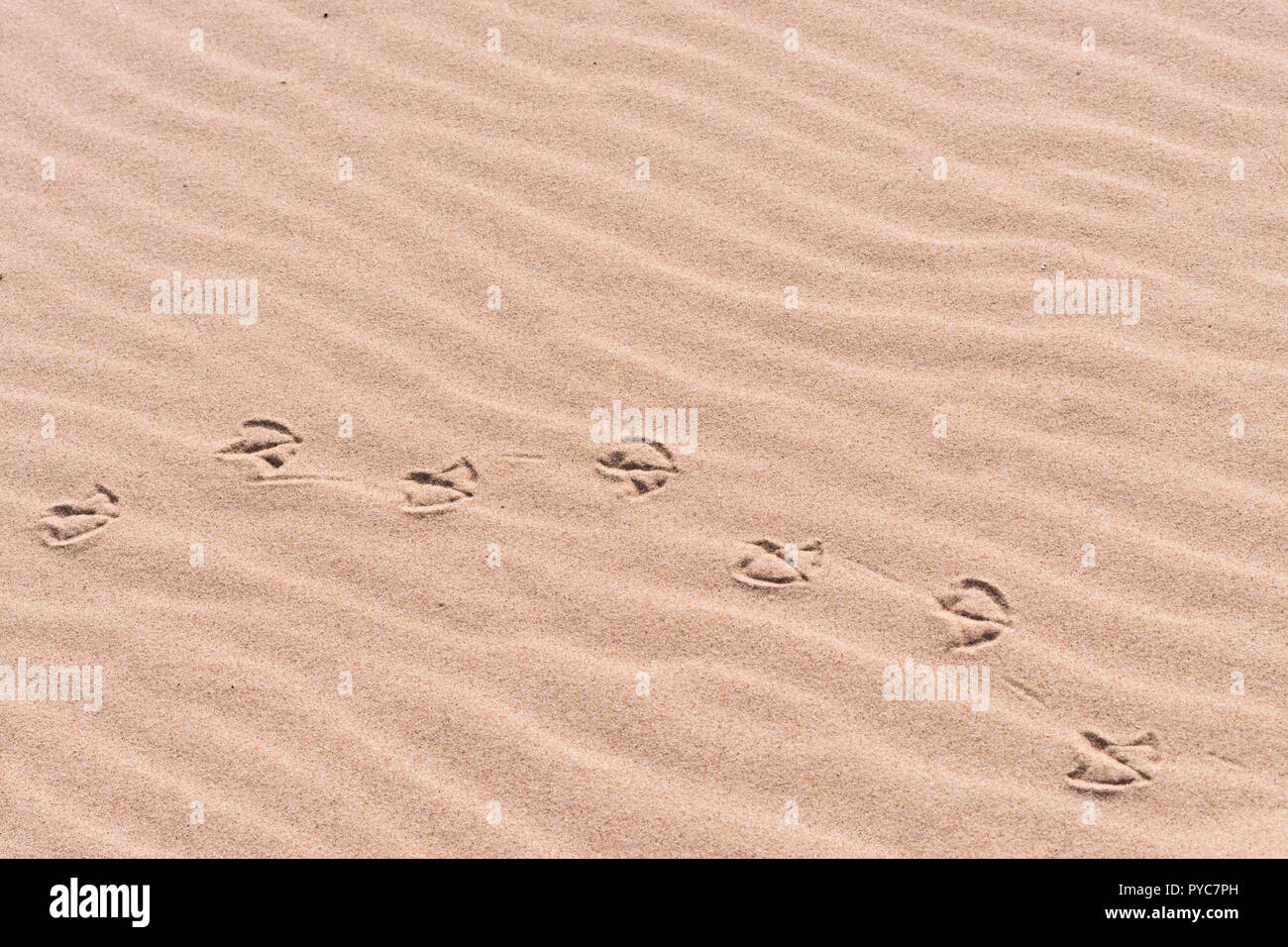 Palmate (webbed) Vogelarten Track (Footprint) in Sand am Strand. Stockbild