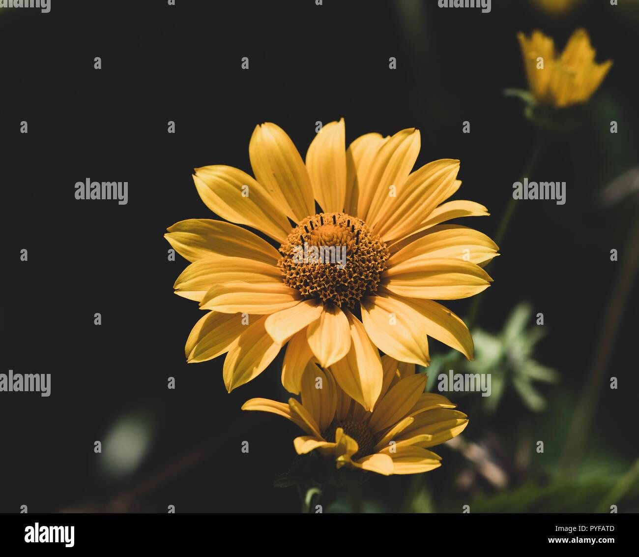 Natürliche Blumen gedämpften Farben outdoor Makro einer gelben Pot marigold Marigold/ruddles/common/Scotch Ringelblume blühen, verschwommenes natürlichen Hintergrund, Sonnig Stockbild