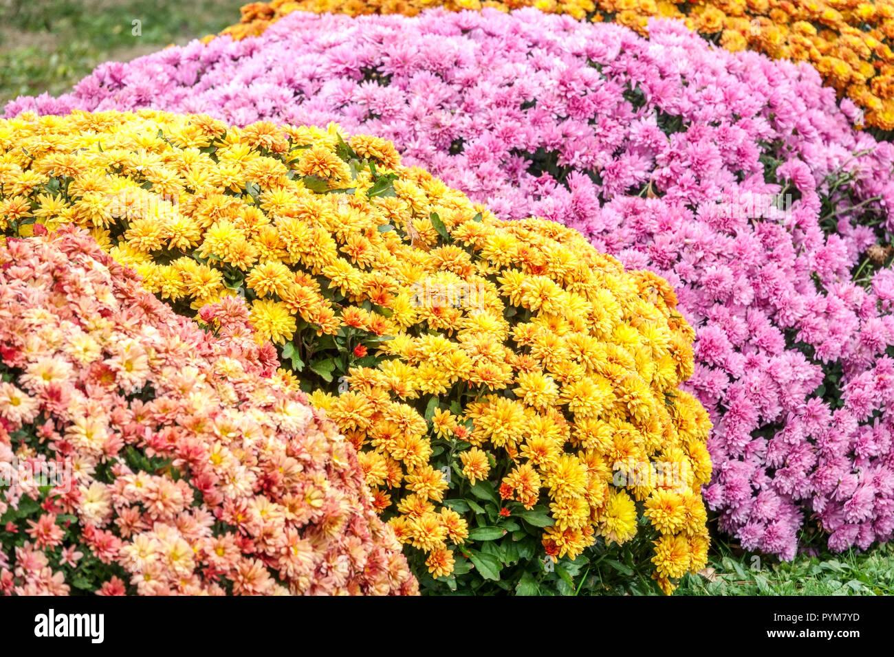 Chrysantheme Herbst Blumen Im Garten Kontrast Und Bunten