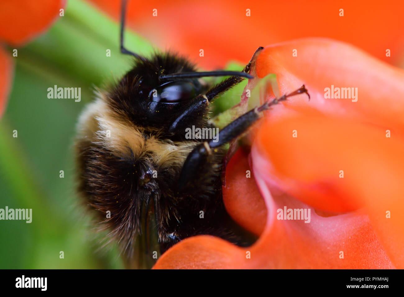 Makroaufnahme einer Hummel bestäubt eine prunkbohne Blüte Stockbild