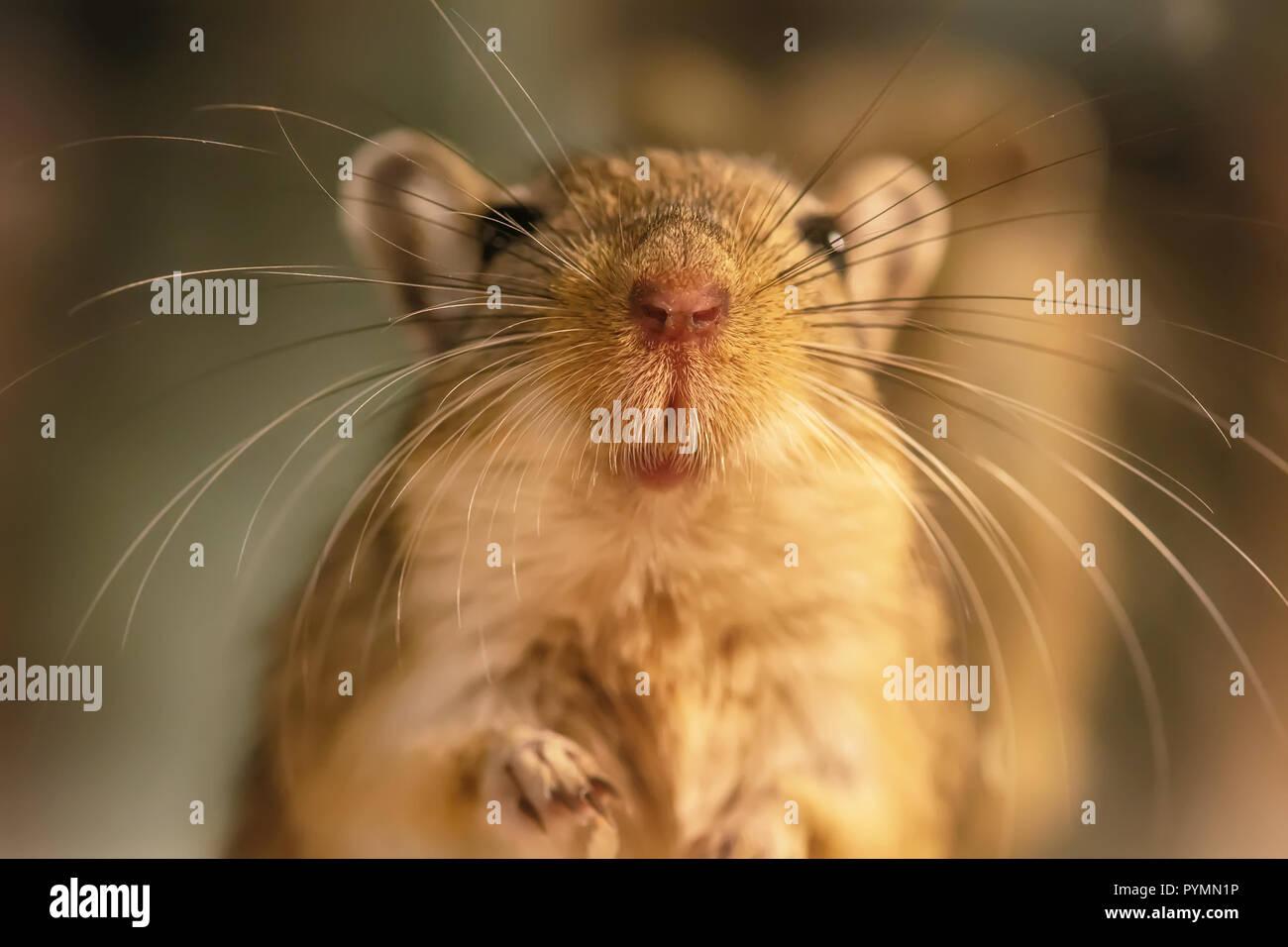 Eine wüstenrennmaus oder Desert Rats ist ein kleines Säugetier. Stockbild