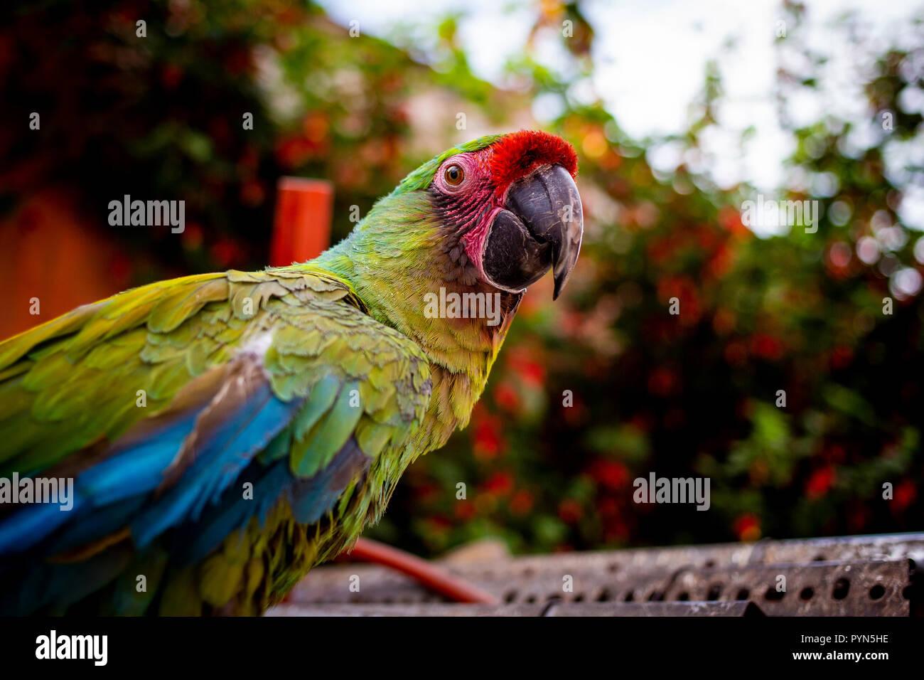 Bunter Papagei schaut in die Kamera, bunte Papagei blickt in die Kamera Stockbild
