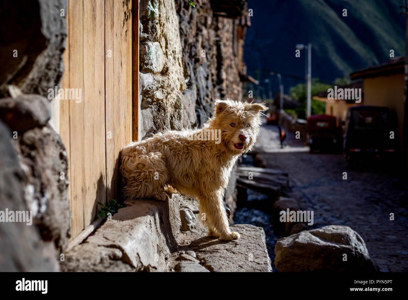 Hund mit weißem Fiel sitzt auf einer Treppe in Huancayo, Peru, und schaut in die Kamera. Hund sitzt auf der Treppe in die Kamera schaut Stockbild