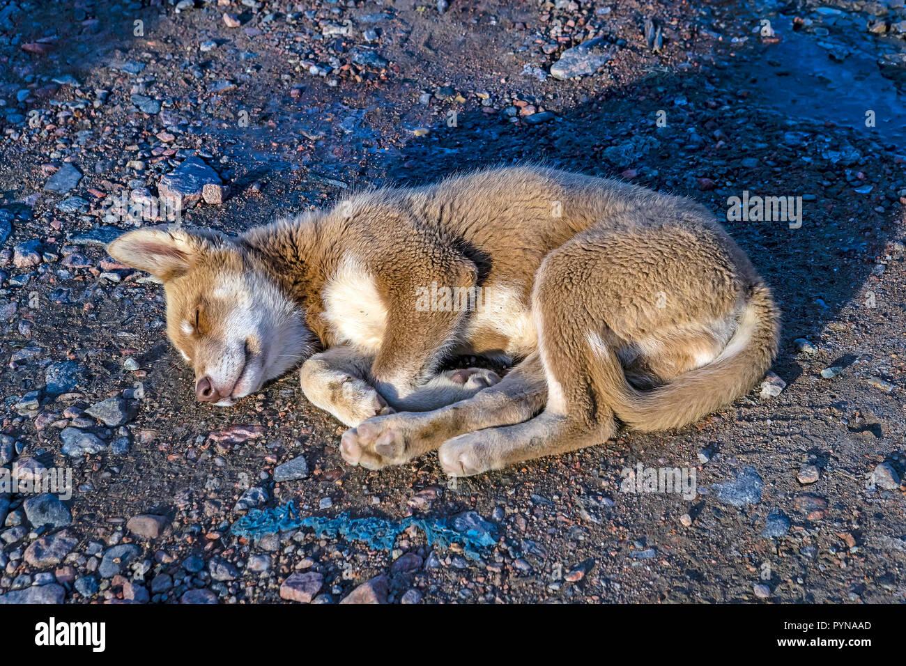 Schlafender grönlandhund an der Küste von Grönland, Nordpolarmeer, Arktis | Sleepingt Hund an der Küste, Norden polar Ozean, Küste von Grönland, Arktis Stockbild
