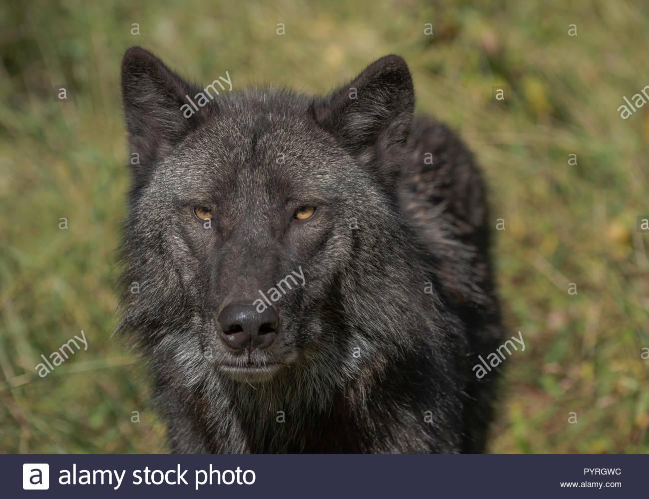 Black Gray Wolf Stockfotos Black Gray Wolf Bilder Alamy