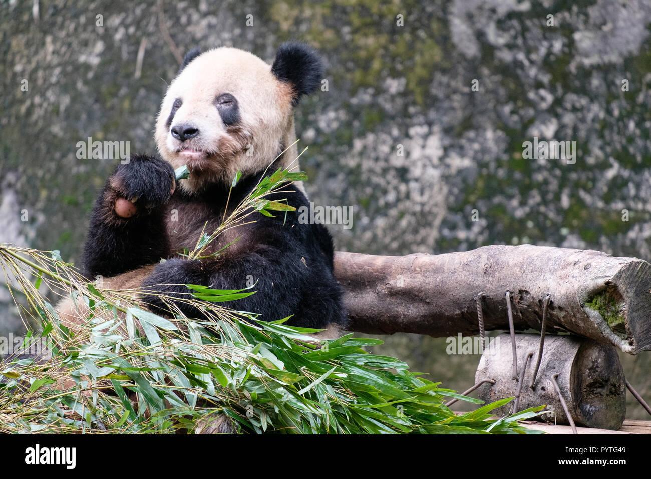 China Panda Barchen Baby Essen Bambus In Zoo Natur Rund Um Mit