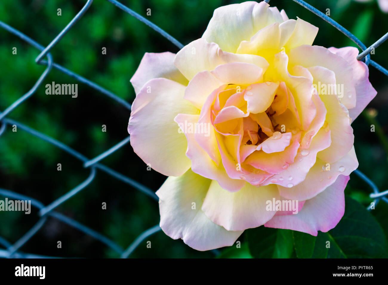 Rose in Weiß Rosa mit Tropfen Wasser wachsen durch einen Zaun Stockbild