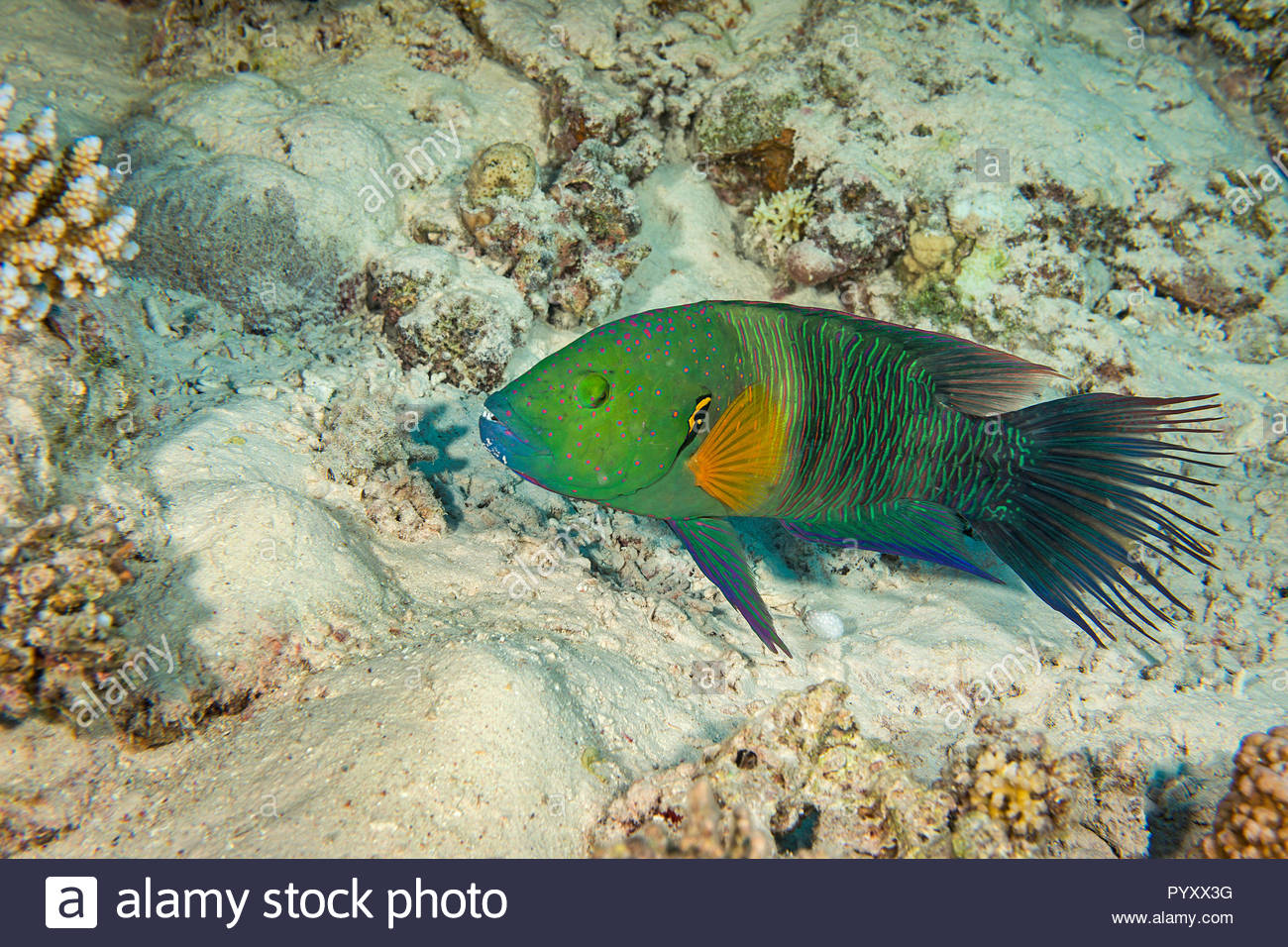 (Cheilinus Besenschwanz-Prachtlippfisch lunulatus), endemisch, Marsa Alam, Ägypten | Broomtail Lippfisch (Cheilinus lunulatus), endemisch, Marsa Alam, Egyp Stockbild