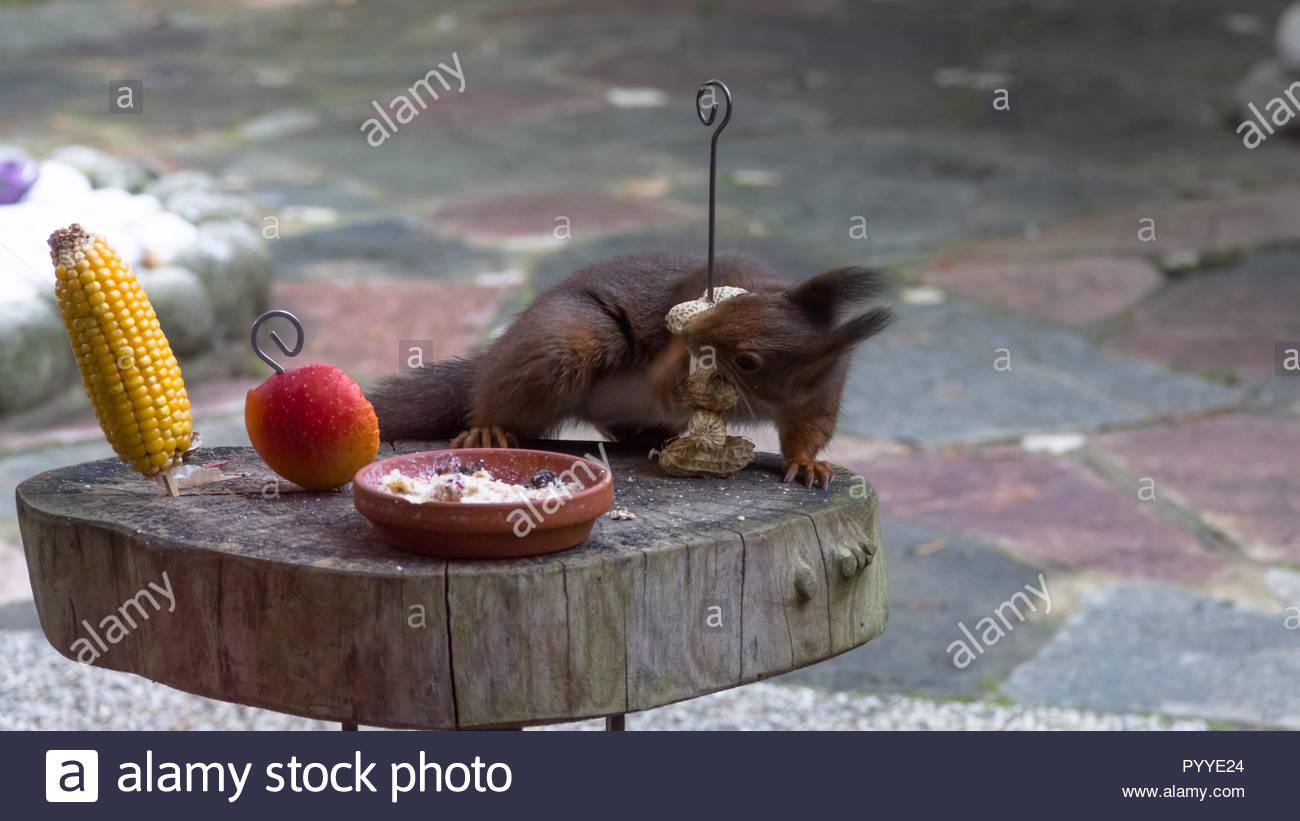 Eichhörnchen hat verschiedene Essen am Futterplatz zu wählen Stockbild