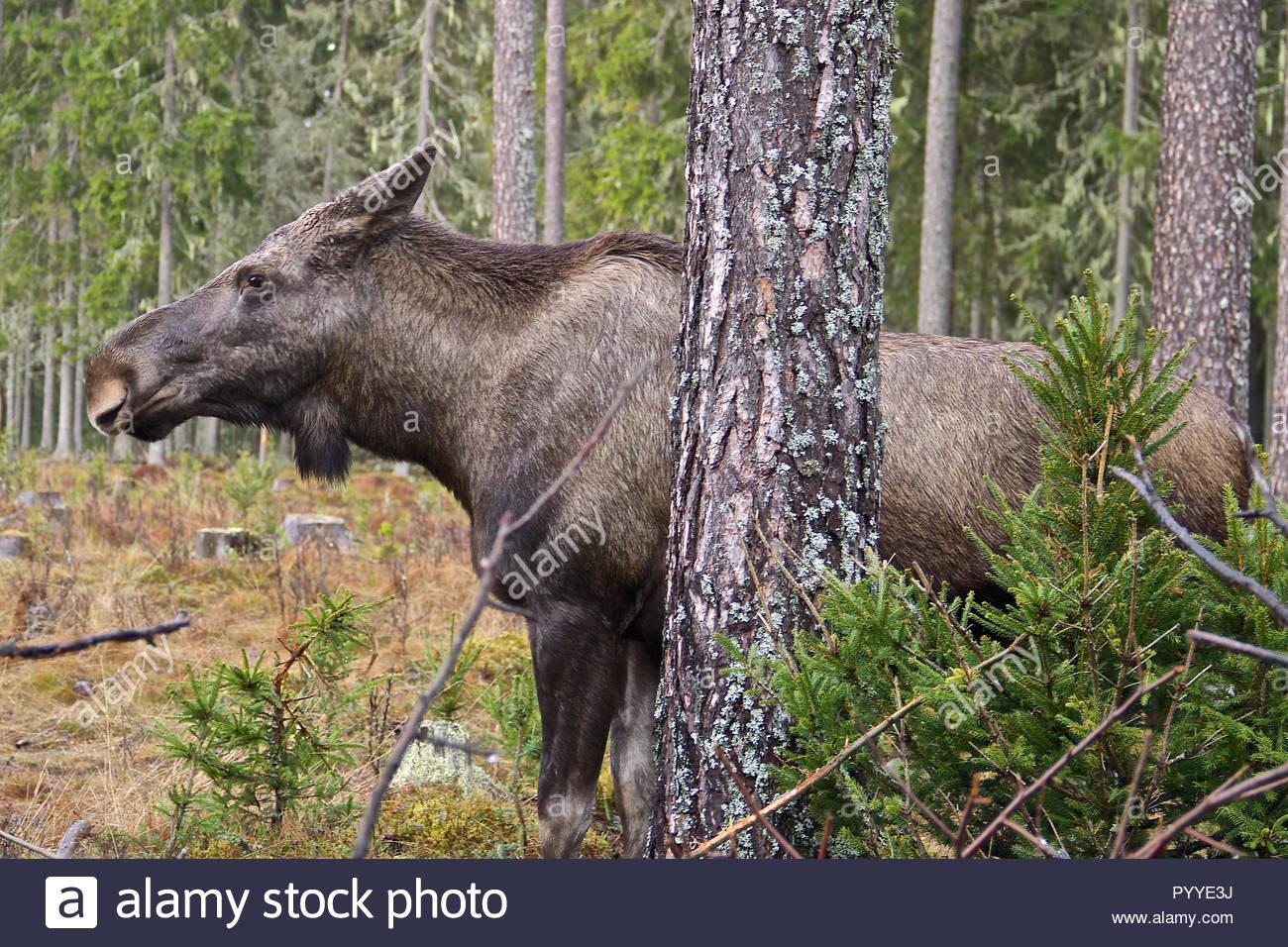 Elche in Schweden hinter einem Baum verstecken Stockbild