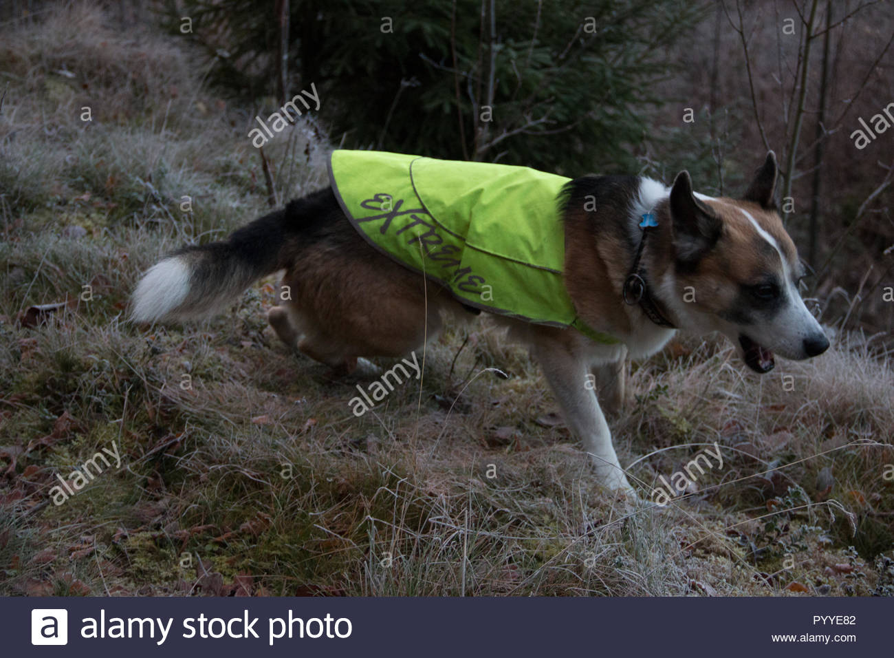 Hund mit Warnweste für bessere Sichtbarkeit während der Jagd und der Finsternis Stockbild