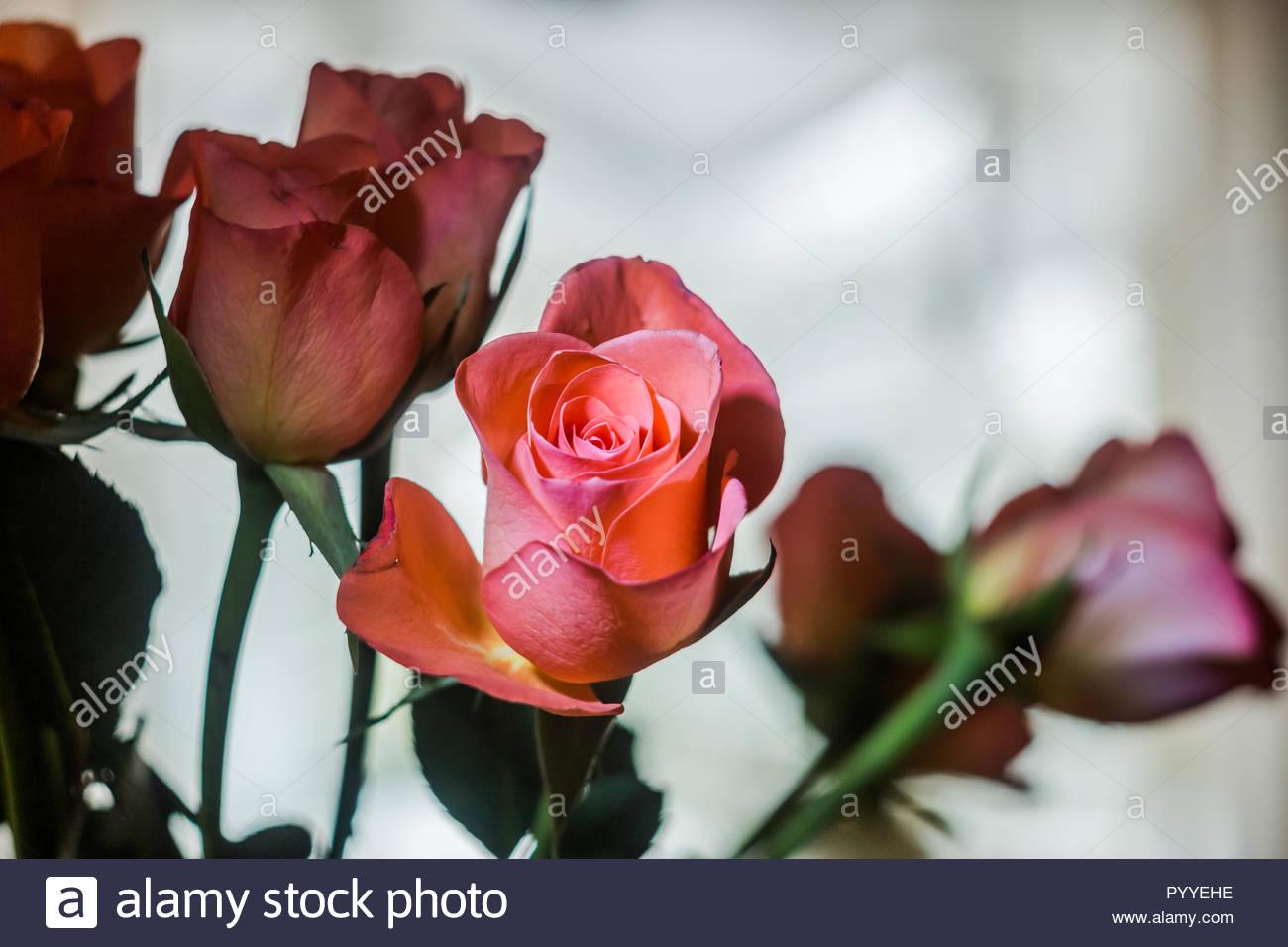 Rosa Rosen mit feinen Hintergrund bokeh Stockbild