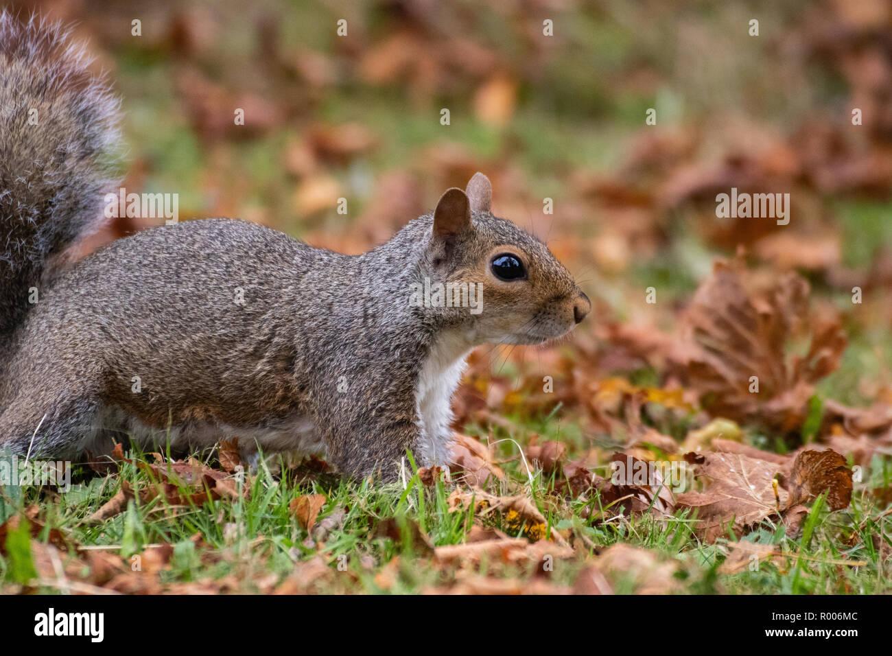 Ein graues Eichhörnchen sitzt auf braune Blätter im Herbst Stockfoto