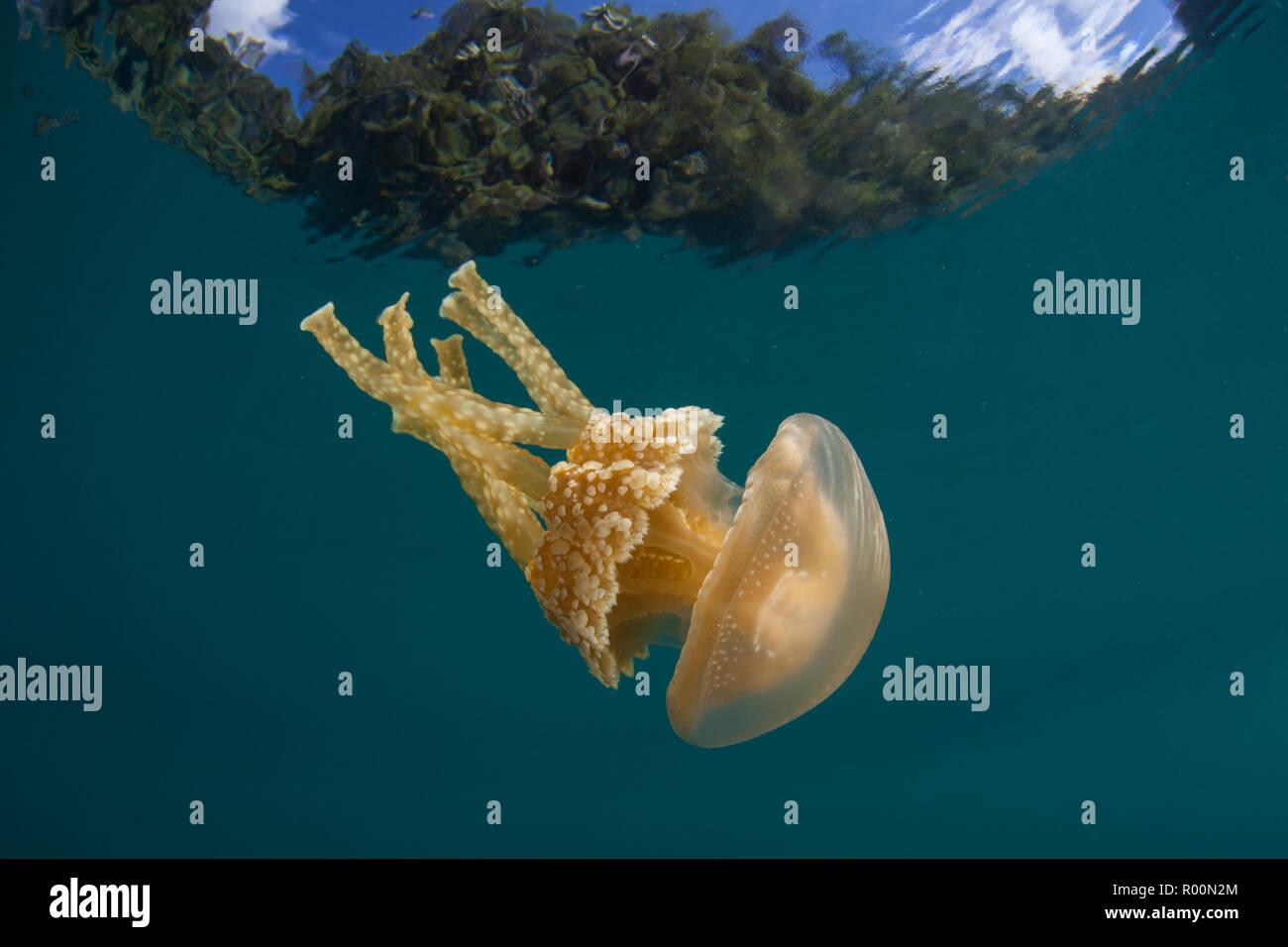 Eine goldene Qualle, mastigias Papua, driftet im flachen Wasser in Raja Ampat, Indonesien. Diese Region ist bekannt für seine spektakulären marine Artenvielfalt bekannt. Stockbild