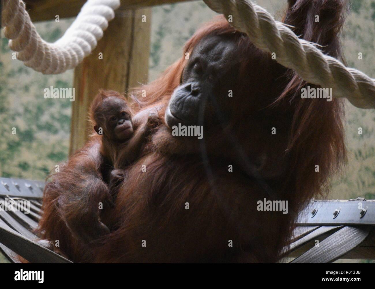 61cd83817bfa9 Oktober 26, 2018 - Paris, Frankreich: ein Orang-Utan-Weibchen mit ihrem  Baby im Zoo der Französischen ...