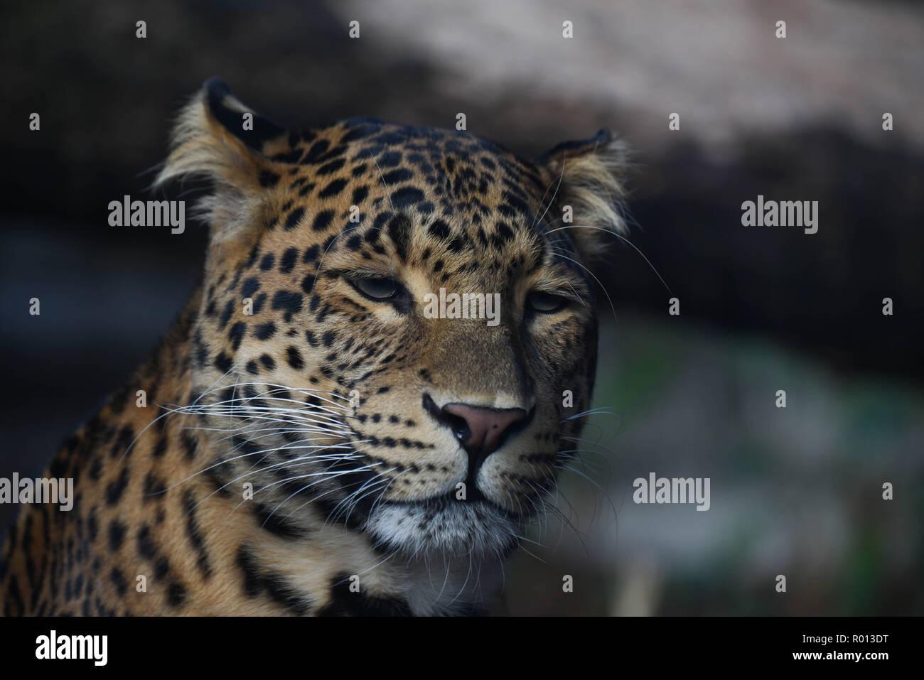 Oktober 26 2018 Paris Frankreich Panther Im Zoo Der