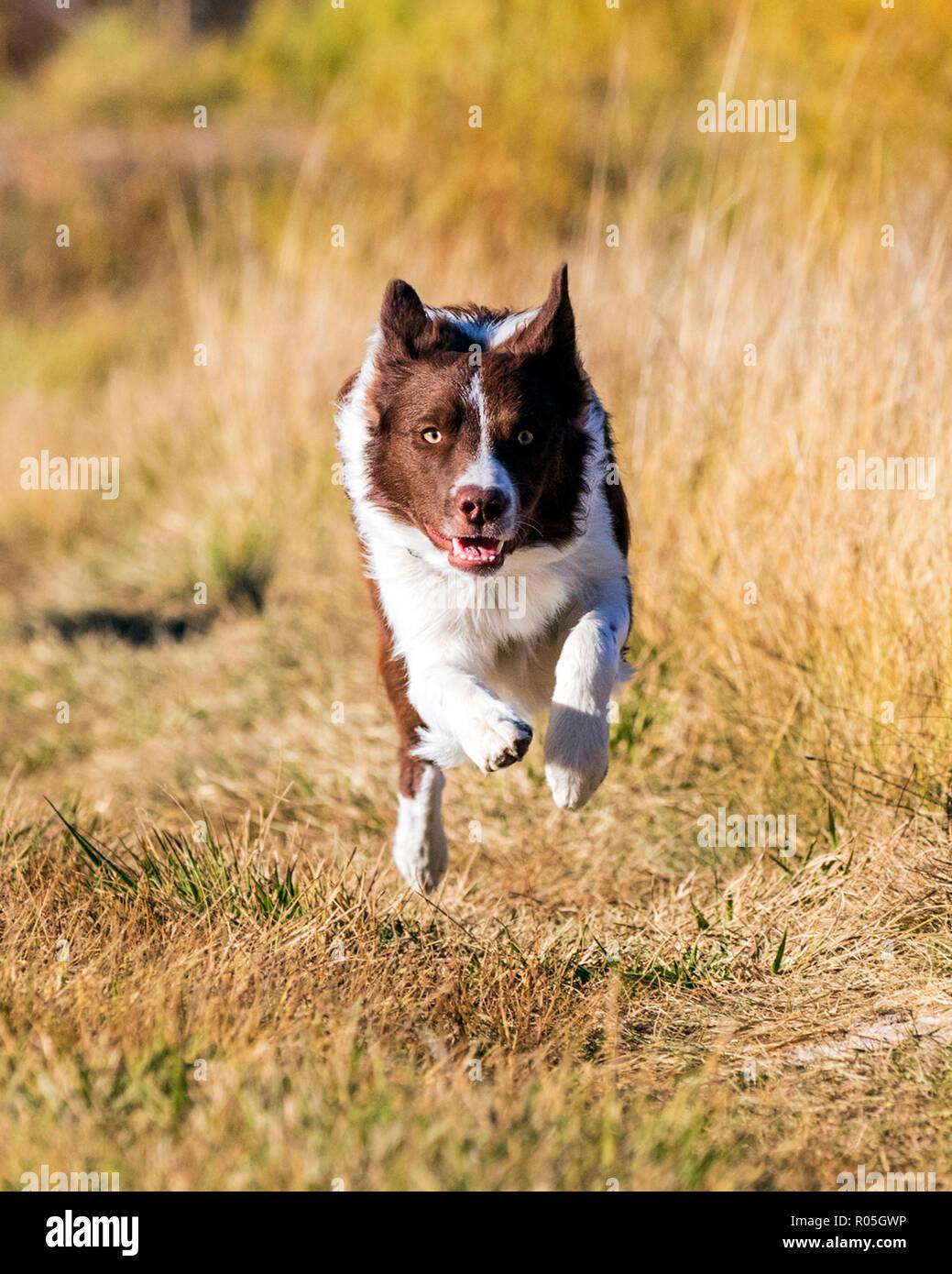 Border Collie Hund läuft außerhalb in einem Park in der Nähe von Salida, Colorado, USA Stockfoto