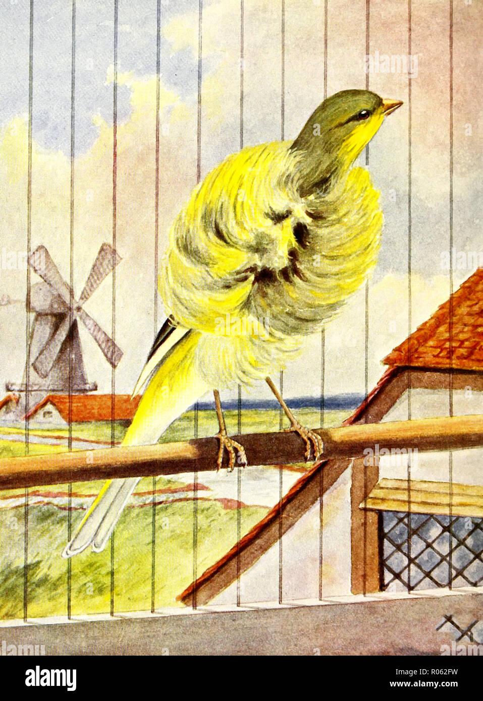 Die niederländische Halskrause Kanarische Inseln - eine Vielzahl sehr dafür auf dem Kontinent - ca. 1900 Stockbild