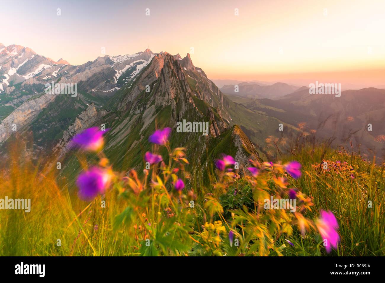 Wilde Blumen auf schafler mit dem felsigen Gipfel Santis im Hintergrund, Appenzell Innerrhoden, Schweiz, Europa Stockbild