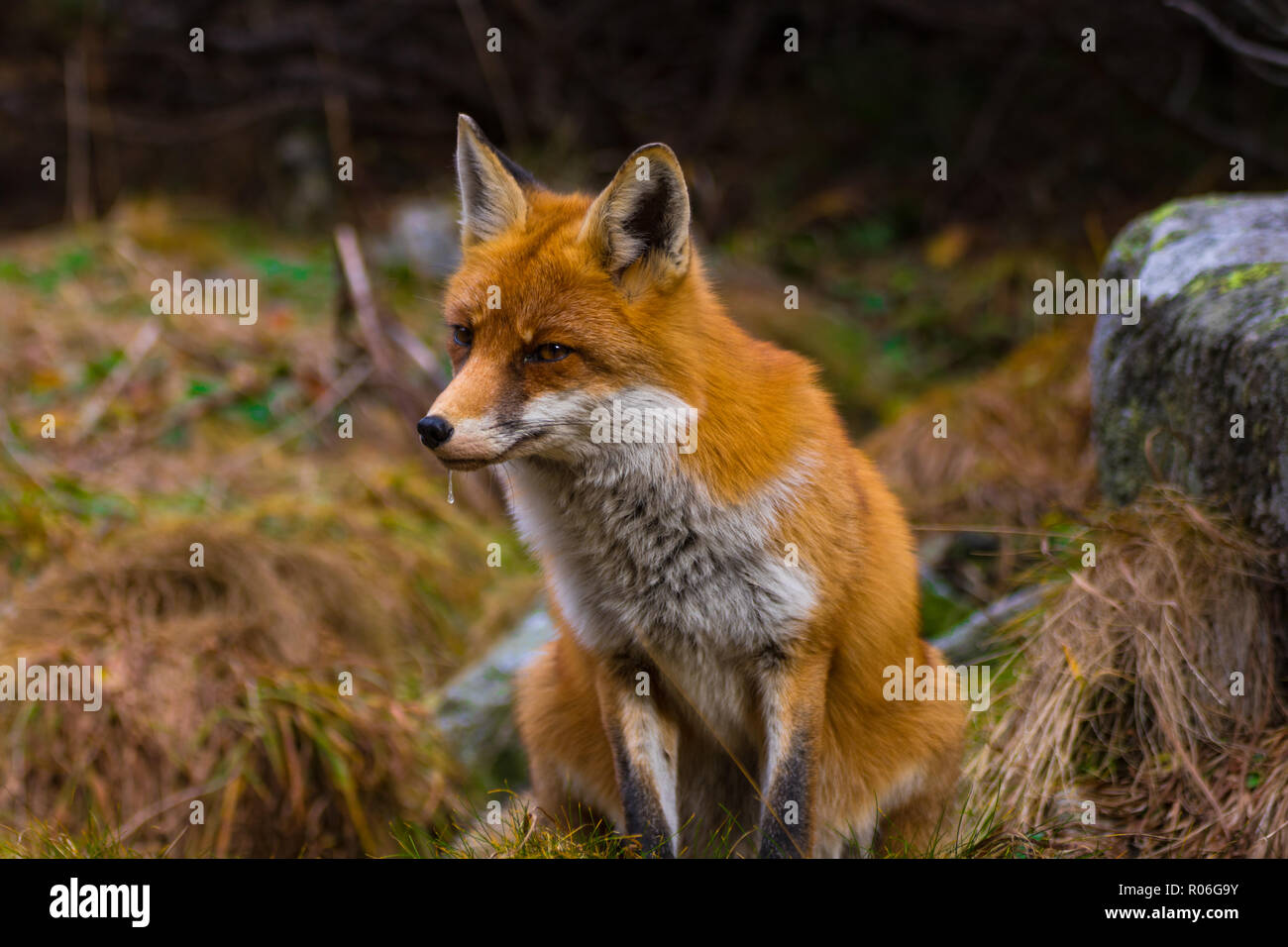 Erfassung von Fox ansehen für die Mahlzeit in der Hohen Tatra, Slowakei. Stockbild