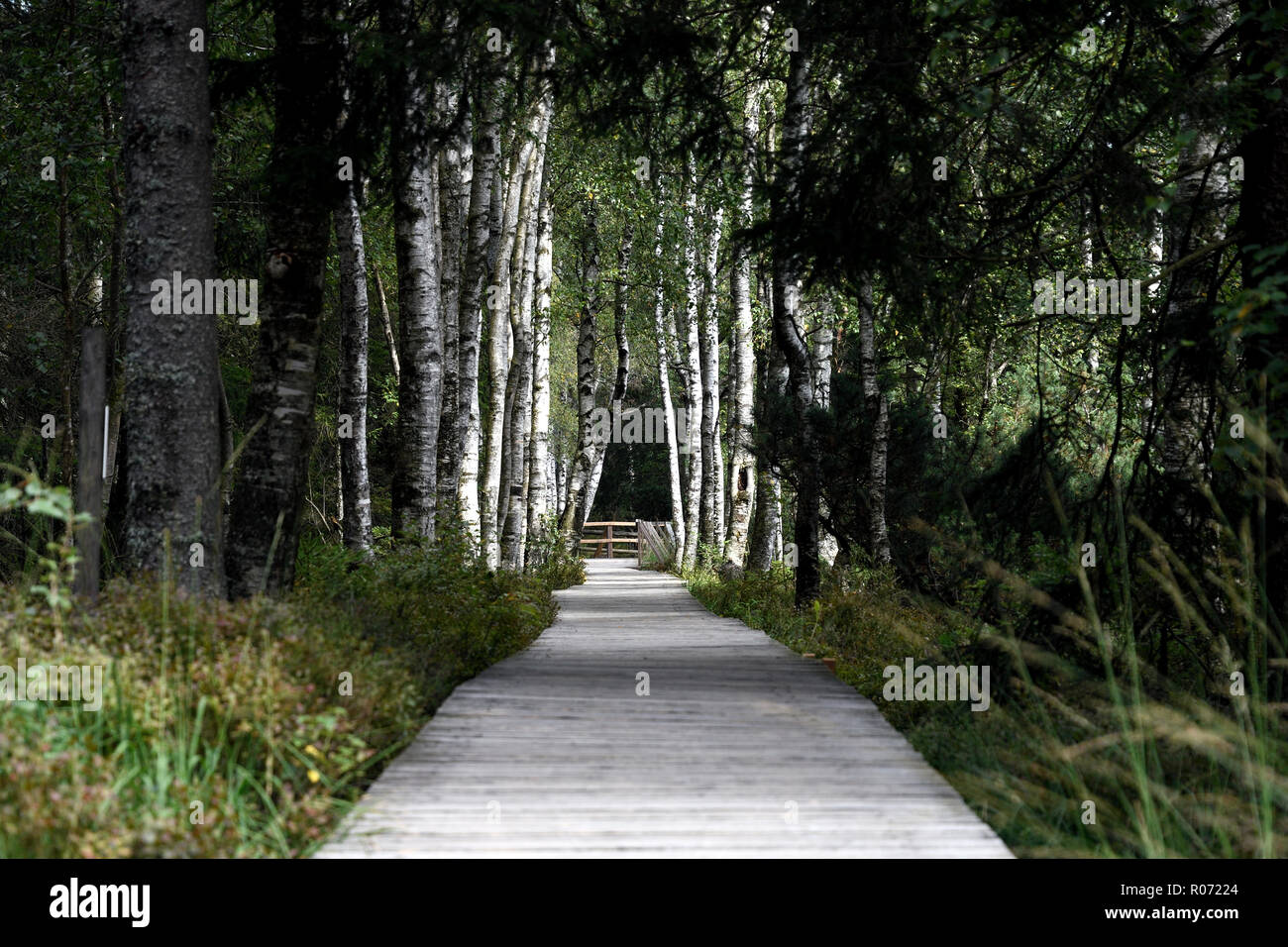 Birke Pfad im Nationalpark Stockbild