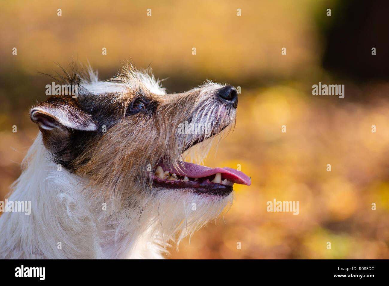 Profil Schuß eines Parson Russell Terrier, den Mund offen Stockbild